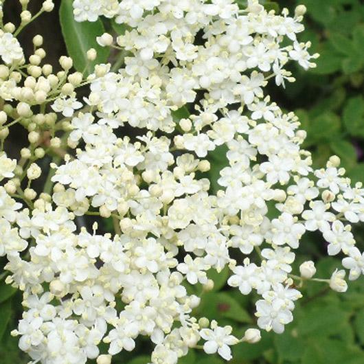 Holunder Blüten der Miracle Essences Blütenessenzen