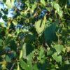 Birke Blütenessenzen weibliche Blüte Miracle Essence