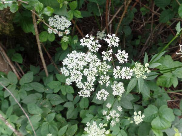 Giersch für die Blütenessenzen der Miracle Essences