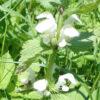 Blüten der weißen Taubnessel Blütenessenzen