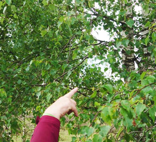 Birken Blütenessenzen Auswahl für die Miracle Essences