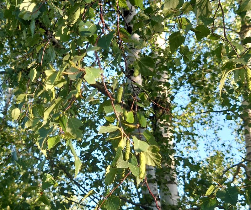 Birken Blütenessenzen Gewinnung nach der Holo-Plant-Methode