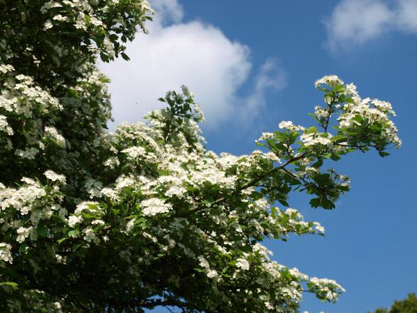 Weißdorn Ast Blütenessenzen Miracle Essences