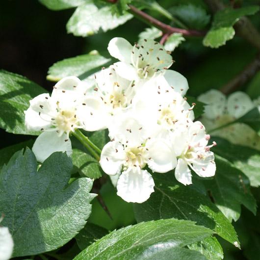 Weißdorn Blüte ür Miracle Essences Blütenessenzen